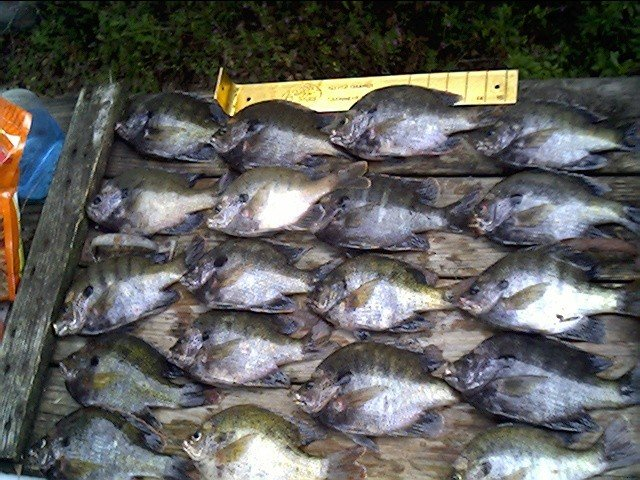 Crappie fishing bluegill shellcracker and crappie for Crappie fishing florida