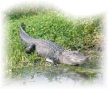 Florida Everglades Gator